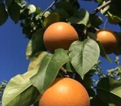 天高く梨も肥ゆる秋