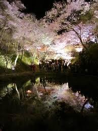 鏡池に移る夜桜はとてもきれいですよ!!