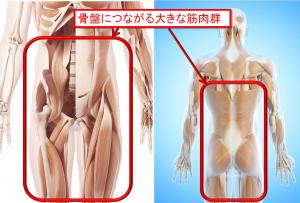 骨盤筋肉イラスト