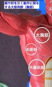 腕引き打法で使う筋肉(胸部)
