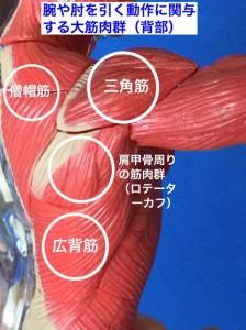 腕引き打法で使う筋肉(背面)