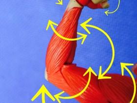 筋肉の動く方向