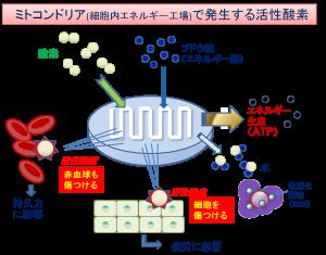ミトコンドリアと活性酸素